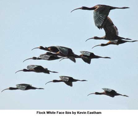 Flock White Face Ibis by Kevin Eastham