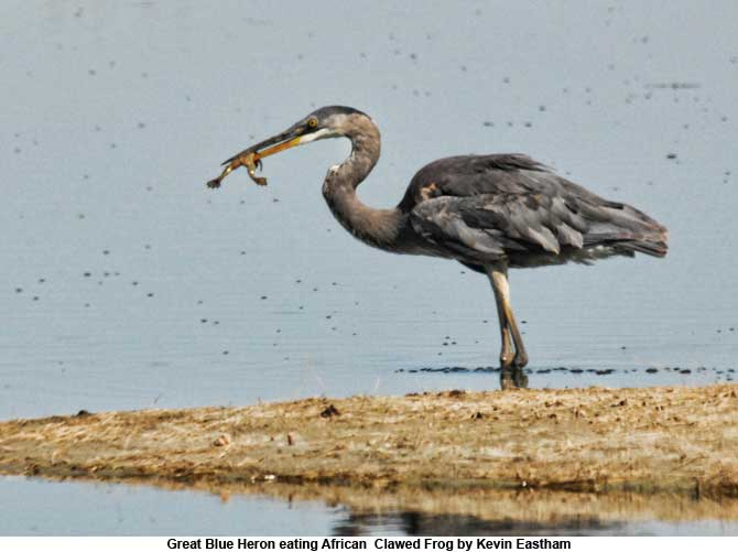 Great Blue Heron eating African  Clawed Frog by Kevin Eastham