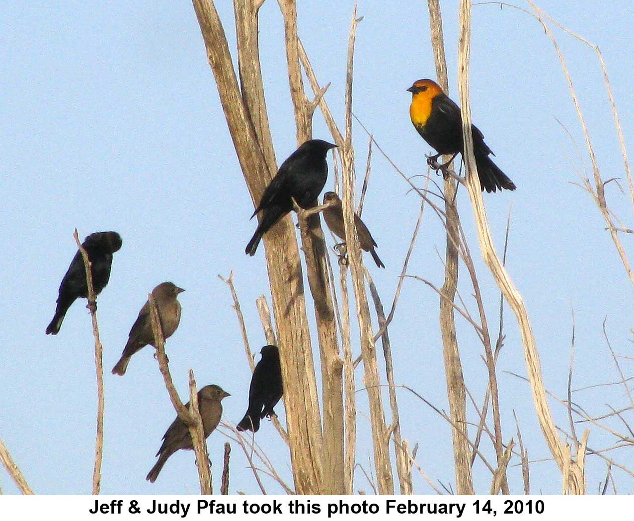 Yellow Headed Blackbird at Piute Ponds